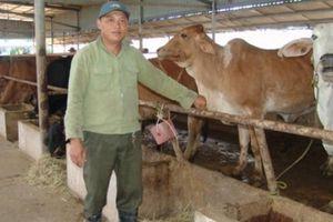 Long An lúng túng nuôi bò công nghệ cao: Đề án đến nay vẫn chậm