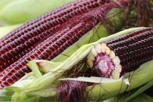 Xuất hiện giống bắp lạ màu đỏ tím, chắc, giòn, ngon mới ở miền Tây