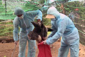 Xuất hiện cúm gia cầm H5N6 có khả năng lây sang người tại Phú Yên