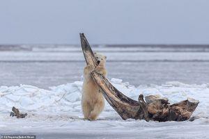 Gấu Bắc Cực 'đánh vật' với bộ xương cá voi khủng