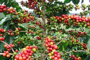 Nông sản ngày 1/11: Cà phê, hồ tiêu đều giảm giá