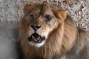 Sự thật đằng sau những bức ảnh du khách âu yếm sư tử Nam Phi