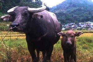Tuyên Quang: Thụ tinh nhân tạo thành công 81 con trâu