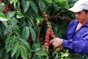 Giá nông sản hôm nay 2/11: Giá cà phê chấm dứt 'màn' tụt giảm, đến lượt giá tiêu biến động