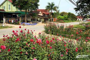 Thảm hoa rực rỡ trên Quốc lộ 7A đoạn qua Con Cuông