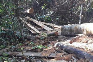 Đắk Lắk: Lâm tặc mở 'đại công trường' trong rừng M'Drắk