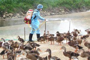 Phú Yên: Dịch cúm A H5N6 có thể lây lan sang người cần khẩn cấp ngăn chặn
