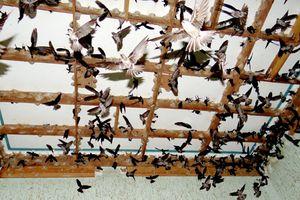 Kiên Giang: Thực hiện quy định tạm thời về quản lý nuôi chim Yến