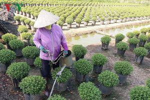 Tiền Giang xuống giống hơn 1 triệu giỏ hoa phục vụ thị trường Tết