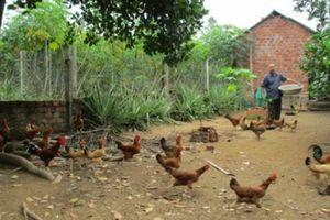 Quảng Nam: Xây dựng đặc sản gà tre đèo Le thành sản phẩm OCOP