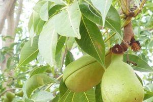 Loài cây ra quả lạ ở xứ sở Tháp Chàm huyền bí