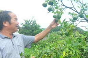 'Phù thủy' nông dân xem hướng để... trồng cam