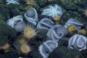Kỳ thú cảnh 'bệnh viện phụ sản' dưới đại dương của bạch tuộc
