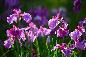 Độc lạ loài hoa đẹp quý phái, biểu tượng cho hoàng tộc