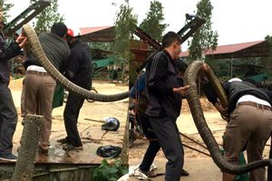Khiếp vía 5 thanh niên bắt sống hổ mang chúa 20 kg ở Vĩnh Phúc