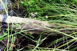 Bò trượt chân lộ bê tông cốt cây: Bí ẩn người vá