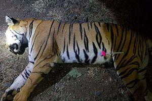 Bản tin 20H: Thợ săn Ấn Độ bắn chết con hổ ăn thịt 13 người