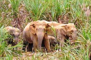 Nghệ An: Hoang mang vì đàn voi rừng xuất hiện phá hoại hoa màu