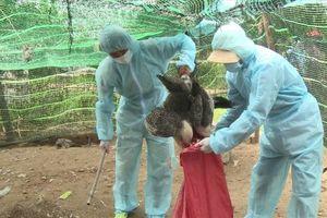 Phú Yên: Khẩn trương bao vây, ứng phó với ổ dịch A/H5N6