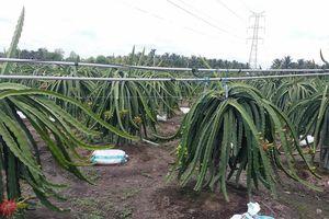 Ô nhiễm môi trường nghiêm trọng từ các vườn cây Thanh long