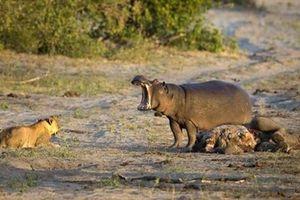 Hà mã đánh lui mẹ con sư tử để ăn thịt voi