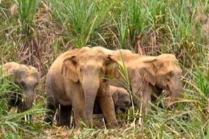 Nghệ An: Đàn voi 5 con tràn về bản, dân lo voi xông vào phá nhà