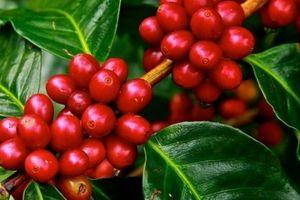 Giá nông sản hôm nay 5/11: Giá cà phê phục hồi chậm, giá tiêu đảo chiều