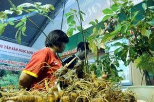 Quảng Nam: Nhẹ nhàng đút túi 5,3 tỷ đồng từ 67 kg sâm Ngọc Linh