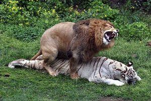 Thẹn đỏ mặt cảnh hổ và sư tử làm 'chuyện ấy' với nhau