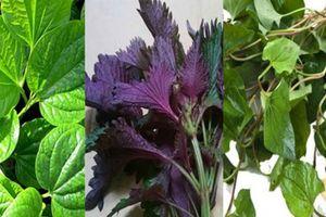 Bài thuốc quý hỗ trợ và bảo vệ sức khỏe từ cây quanh vườn nhà