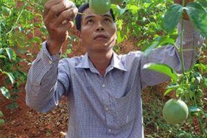 Lạng Sơn: Chanh leo lên đồi, thu nhập tăng theo