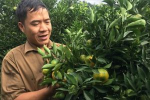 Cảnh nhà dư dả nhờ trồng 340 gốc cam Canh quả sai 'phát hờn'