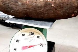 Cần Thơ: Đào củ khoai mì khủng hơn 20 kí, cả xóm chia nhau ăn