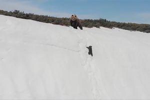 Hành trình leo núi tuyết đáng thán phục của gấu con