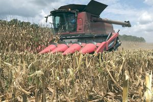 Độc tố trong bắp đang thu hoạch ở Mỹ làm nông dân thêm đau đầu