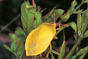 Nam Phi mất nửa tỷ USD mỗi năm do côn trùng ngoại lai