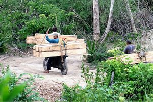 Rừng căm xe Ninh Hòa kêu cứu!