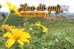 Đồng hoa dã quỳ tuyệt đẹp trên vùng núi lửa Chư Đăng Ya triệu năm