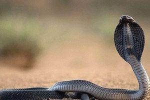 Điện Biên: 'Rắn chúa bà' ở miếu Thanh Chăn chỉ là rắn bình thường