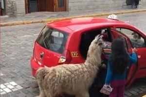 Lạ lùng lạc đà Peru đi…taxi