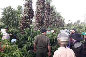Điều tra vụ trên 700 trụ tiêu của nông dân bị hủy hoại, chặt phá không thương tiếc