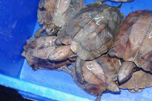 Rùa đầu to được 'phù phép' có nguồn gốc hợp pháp từ trang trại