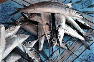 Cà Mau: Thương lái bất ngờ thu mua cá lìm kìm với giá cao