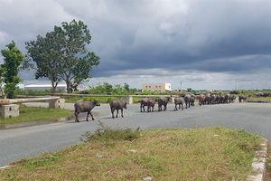 Đàn trâu hàng chục con 'đại náo' KCN, tiềm ẩn tai nạn giao thông