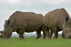 Cứu tê giác trắng bằng IVF
