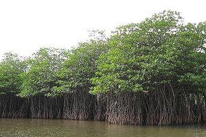 Nghệ An trồng được 1.676 ha rừng ven biển