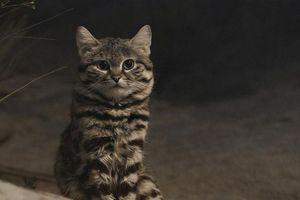 Loài mèo nhỏ nhắn nguy hiểm nhất thế giới