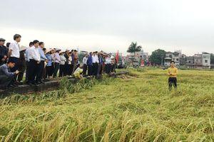 Sóc Sơn phục tráng thành công đặc sản lúa nếp cái hoa vàng
