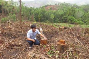 Quảng Trị: Thủ tiêu cây rừng để chiếm đất trồng keo tràm