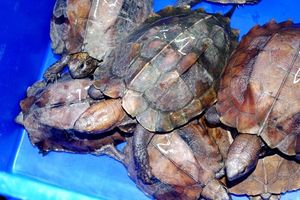 Tranh cãi nảy lửa quanh nghi án Kiểm lâm Đồng Tháp 'phù phép' biến hàng chục rùa hoang dã quý hiếm thành thú nuôi thường